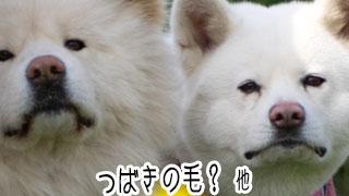 【わさお通信:特別増刊】つばきの毛? 他