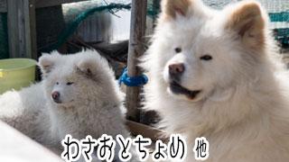 【わさお通信:特別増刊】わさおとちょめ 他