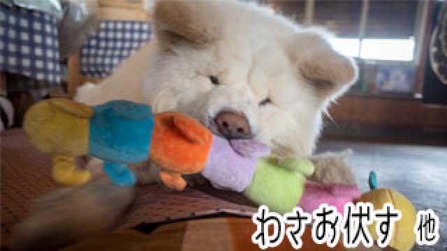 【わさお通信:特別増刊】 わさお伏す 他