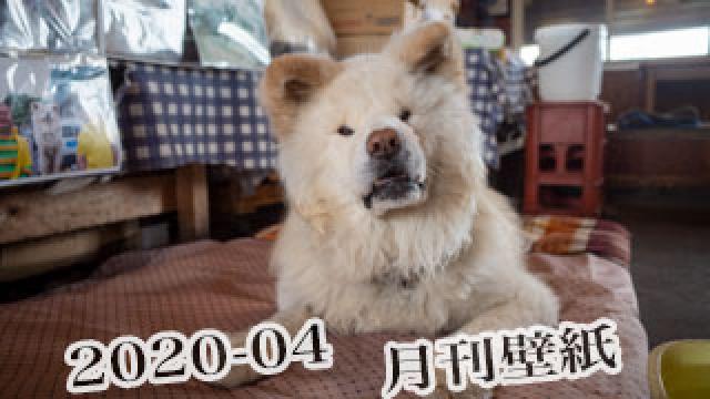 【わさお通信:特別増刊 2020-04】月刊わさお壁紙
