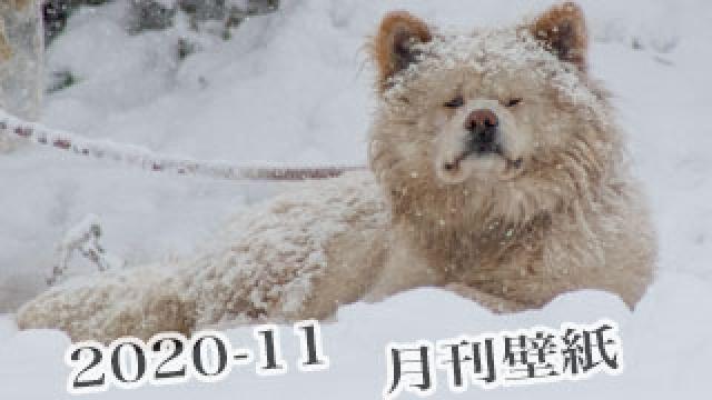 【わさお通信:特別増刊 2020-11】月刊わさお壁紙