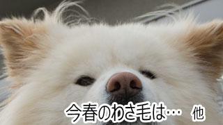 【わさお通信:特別増刊】今春のわさ毛は… 他