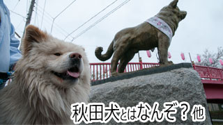 【わさお通信:特別増刊】秋田犬とはなんぞ?