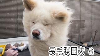 【わさお通信:特別増刊】長毛秋田犬 他