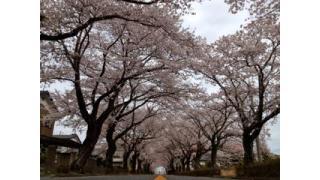 Vol.076 富岡町・夜の森の桜は「帰還意識の高揚」につながるか?