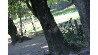 姫路城に生えてる木の穴に住む子猫ちゃん画像!!珍しい上に可愛い過ぎるの声多数!!