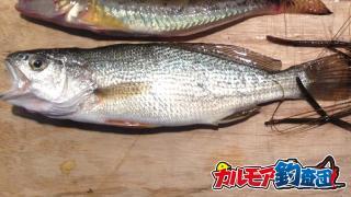【カルモア釣査団】岸から釣る江戸前の高級魚イシモチ!