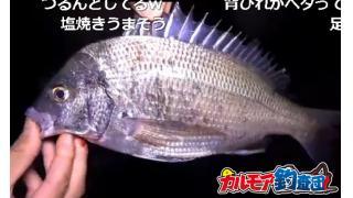 【カルモア釣査団】マイクロテンヤを使ったクロダイ釣り!