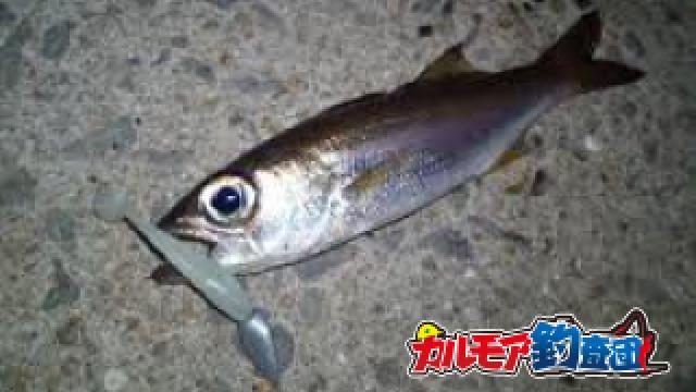 堤防から超旨い高級魚クロムツを釣る!