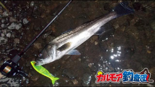 落ち鮎を喰らう激流の超ド級シーバス釣り!秋の落ち鮎パターン