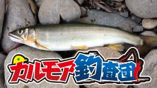 【レポート】カルモア釣査団 鮎釣りチャレンジ2015 最終章 コロガシ釣り