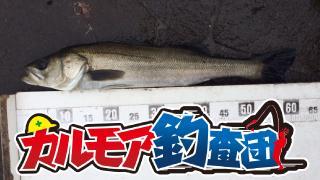 【レポート】カルモア釣査団 心躍る!エビ撒きスズキ釣り