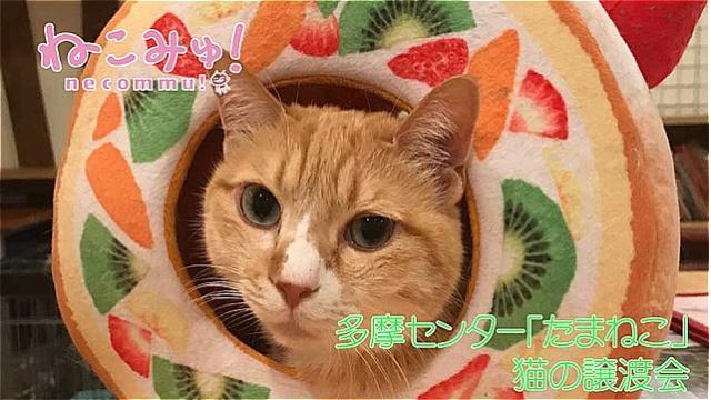 多摩センター「たまねこ」猫の譲渡会 生中継