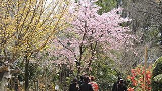 広島の桜が開花したよ!名勝縮景園の桜情報大紹介!