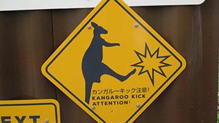 キックに注意!カンガルー達が近過ぎるくらい間近に!