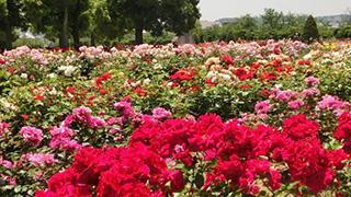 薔薇繚乱!開花の早まっちゃったバラたちがもう見頃!