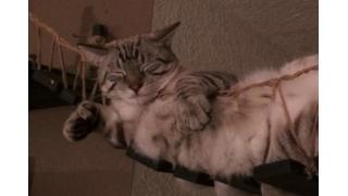 """猫をダメにする""""吊り橋""""でダメになっているネコさんがダメ可愛い"""
