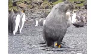 【あのさぁ】野獣と化したオットセイに襲われるペンギンさん……珍行為が海外で話題に
