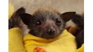 ブランケットに包まれた赤ちゃんコウモリたちが一生懸命にミルクを飲む姿がカワイイ