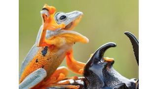 カエルがカブトムシを捕まえてロデオしてる!躍動感たっぷりな写真が話題に
