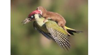 生存をかけた戦いが一転 イタチを背中に乗せたまま空を飛ぶキツツキの写真が話題に
