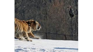 ごちそうに興奮したのかな? シベリアトラが雪原で足を滑らせてマヌケな姿を晒す