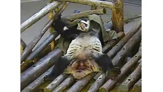 トロント動物園のパンダが休日に部屋でゴロゴロするおっさんみたいな姿を晒す