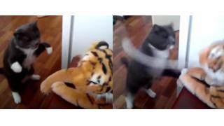 まるでボクシングチャンピオンだ!虎のぬいぐるみにフルボッコするネコさんの尋常じゃないキレっぷりを撮影したビデオが話題に