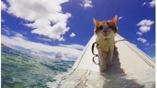 我輩は波乗りキャットである ハワイの海でサーフィンをする片目の猫が人気を集める