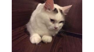 【nyanny AKIBA】お腹いっぱいで満足な猫スタッフ【癒やし】 #nyanny #猫カフェ
