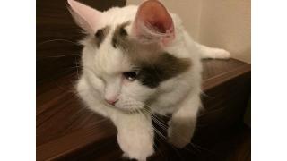【nyanny AKIBA】季節関係なくまったりな猫スタッフ【癒やし】 #nyanny #猫カフェ