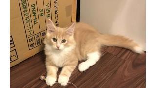 【nyanny AKIBA】iPhone7Plusの実力を試すべく、夜の活発な猫スタッフを撮ってみた【癒やし】#nyanny #猫カフェ