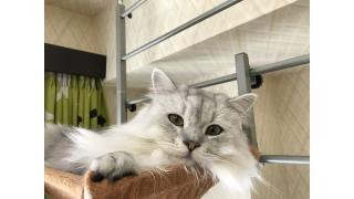 【nyanny AKIBA】追跡!土曜の猫スタッフ!【癒やし】 #nyanny #猫カフェ