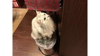 【Nyanny AKIBA】少しクリスマスチックなお店と新しいおもちゃに夢中な猫スタッフ【癒やし】#nyanny #猫カフェ