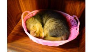 【仔猫】cat cafe nyanny AKIBA 開店一ヶ月おめでとうございます!【癒やし】