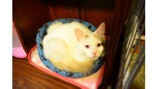 【nyanny AKIBA】みにたんと休日の猫スタッフ【みにたん多数】