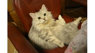 【Cat cafe nyanny】元気ハツラツの猫スタッフ【ニャニー】