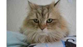 【nyanny AKIBA】新しい遊びに夢中な猫スタッフ【癒し】