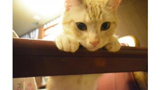 【nyanny AKIBA】新猫スタッフ初顔合わせとみにたん1歳【癒やし】