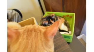 【隠れ家】期間限定新猫「にう」と先輩猫スタッフ【88番地】