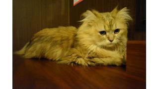 【nyanny AKIBA】新猫スタッフに振り回される先輩猫スタッフ【癒やし】