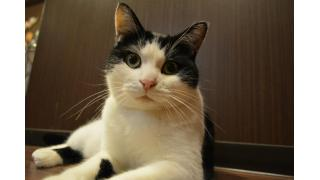 【nyanny AKIBA】日曜日の猫スタッフは何かに夢中?【癒やし】