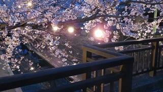 桜を見てきた&聲の形 聖地巡礼