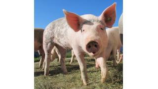 無菌豚は生で食べていいの? 料理科学の森