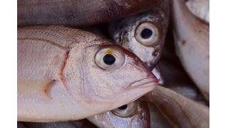 魚を煮るとき、汁を煮たてる理由 料理科学の森