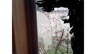 今年のしょぼい桜
