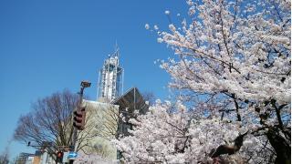 富山市の桜が満開になりました~富山市内のサクラの開花状況~
