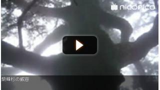 紫峰杉の威容