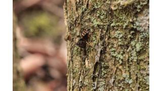 その53:春虫草ハイパー