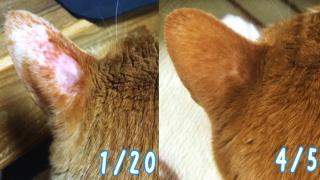 猫の耳の肥満細胞腫(癌)がステロイド軟膏で完治!